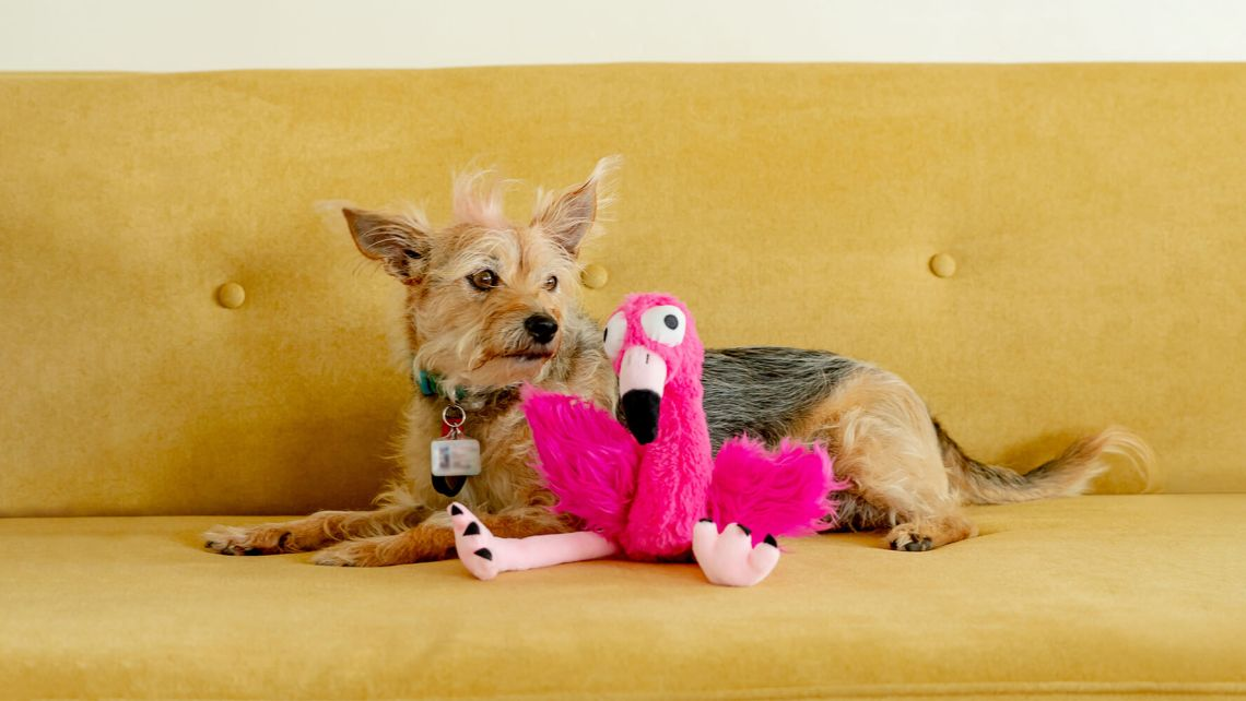 Small brown dog with dark brown patches and Huxley & Kent hot pink bowtie