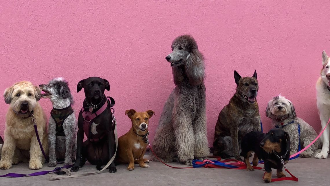 A line up of all sorts of different breeds of dogs against a bright pink wall used for the Bone & Biscuit blog store.