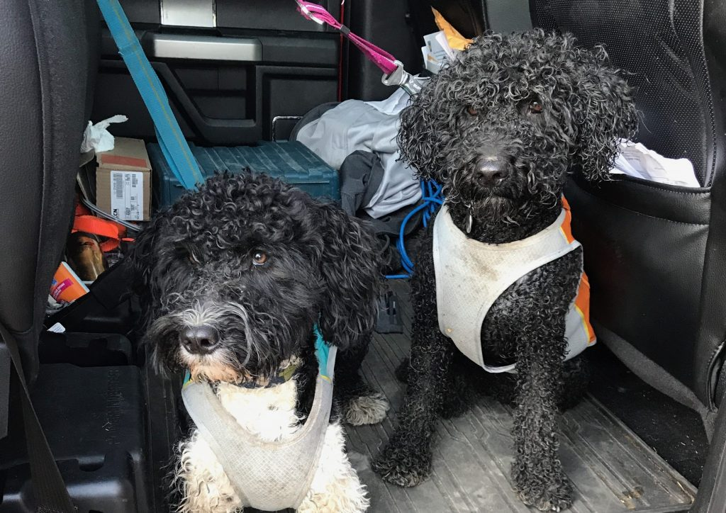 portuguese-water-dogs