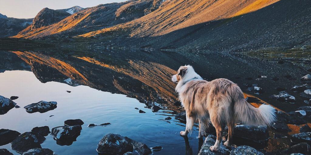 australian shepherd standing on a creek at sunrise