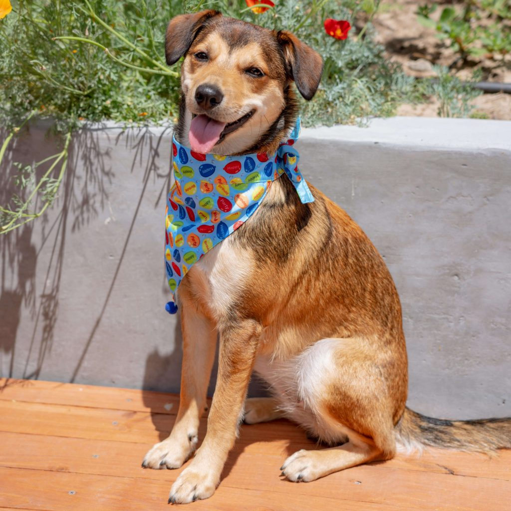 Short-haired brown dog wearing a Huxley & Kent bandana in blue and red colours