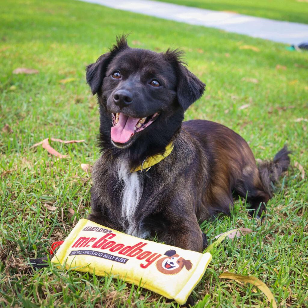 black dog sitting on grass with a Mr. Goodboy Huxley & Kent dog toy